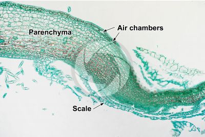Marchantia polymorpha. Common liverwort. Thallus. Transverse section. 125X