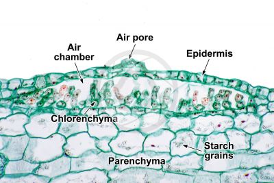 Marchantia polymorpha. Common liverwort. Thallus. Transverse section. 500X