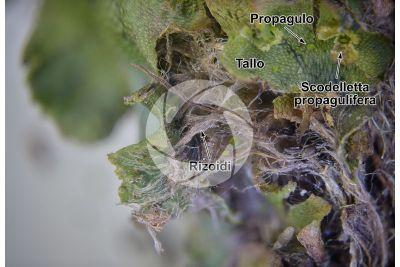 Marchantia polymorpha. Fegatella. Tallo. 16X