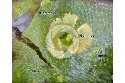 Marchantia polymorpha. Common liverwort. Gemma cup. 16X