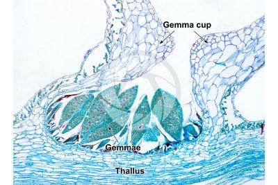 Marchantia polymorpha. Common liverwort. Gemma cup. Transverse section. 32X