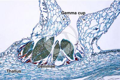 Marchantia polymorpha. Common liverwort. Gemma cup. Transverse section. 64X
