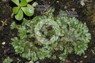Marchantia polymorpha. Fegatella. Tallo