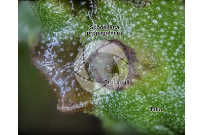 Marchantia polymorpha. Fegatella. Scodelletta propagulifera. 16X