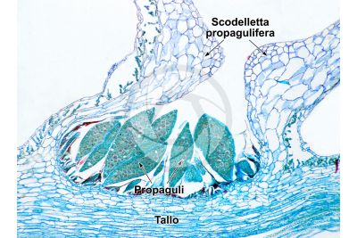 Marchantia polymorpha. Fegatella. Scodelletta propagulifera. Sezione trasversale. 32X