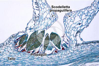 Marchantia polymorpha. Fegatella. Scodelletta propagulifera. Sezione trasversale. 64X