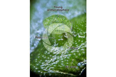 Marchantia polymorpha. Common liverwort. Antheridiophore. 14X