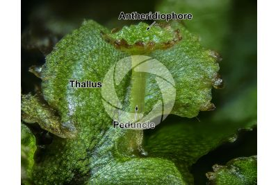 Marchantia polymorpha. Common liverwort. Antheridiophore. 7X