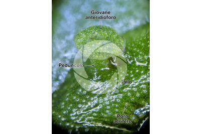 Marchantia polymorpha. Fegatella. Anteridioforo. 14X