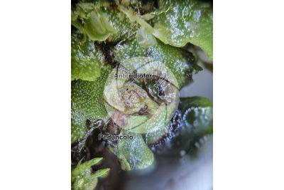Marchantia polymorpha. Fegatella. Anteridioforo. 7X