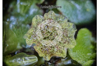 Marchantia polymorpha. Fegatella. Anteridioforo. 10X