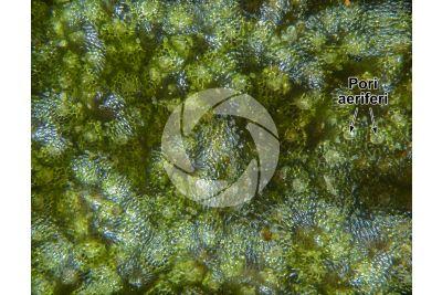 Marchantia polymorpha. Fegatella. Anteridioforo. 30X