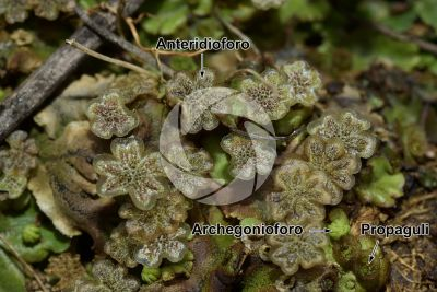Marchantia polymorpha. Fegatella. Anteridioforo