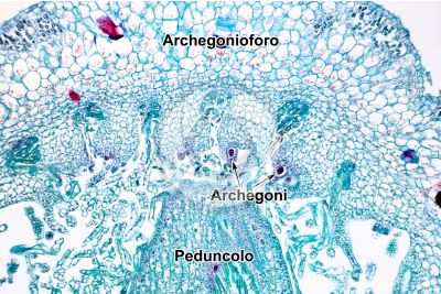 Marchantia polymorpha. Fegatella. Archegonio in stadio iniziale. Sezione longitudinale. 125X