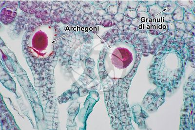 Marchantia polymorpha. Fegatella. Archegonio in stadio intermedio. Sezione longitudinale. 500X