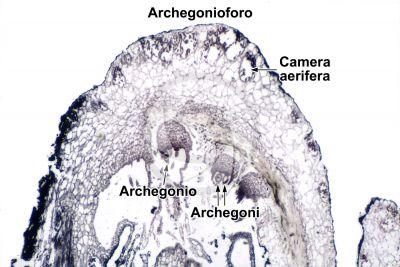 Marchantia polymorpha. Fegatella. Archegonio. Sezione longitudinale. 32X