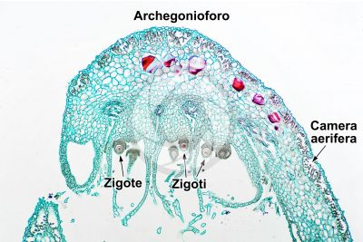 Marchantia polymorpha. Fegatella. Zigote. Sezione longitudinale. 64X
