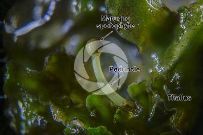 Noteroclada confluens. Sporophyte. 5X