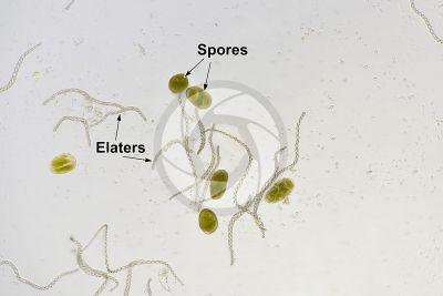 Noteroclada confluens. Elaters and spores. 125X