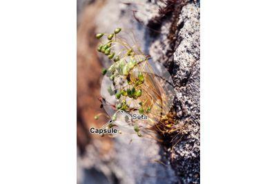 Funaria sp. Sporophyte