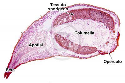 Funaria hygrometrica. Capsula. Sezione longitudinale. 64X