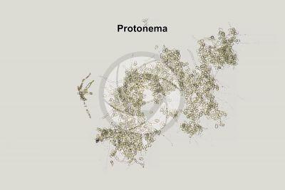 Mnium sp. Protonema. 125X