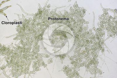 Mnium sp. Protonema. 250X