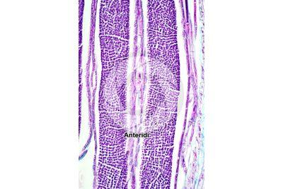 Mnium sp. Anteridio. Sezione longitudinale. 250X