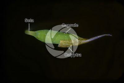 Plagiomnium undulatum. Capsule. 10X