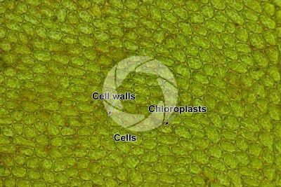 Plagiomnium undulatum. Leaf. 250X