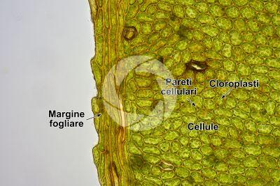 Plagiomnium undulatum. Foglia. 125X
