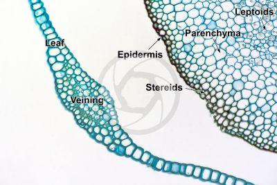 Pogonatum sp. Seta. Transverse section. 250X