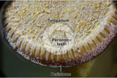 Polytrichum sp. Capsule. 60X