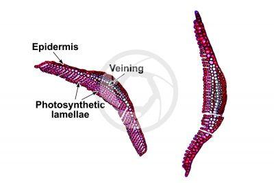Polytrichum sp. Leaf. Transverse section. 125X