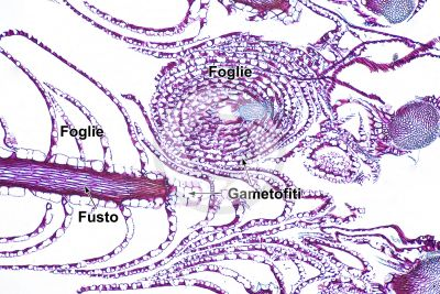 Sphagnum sp. Sfagno. Gametofito. Sezione trasversale e longitudinale. 64X