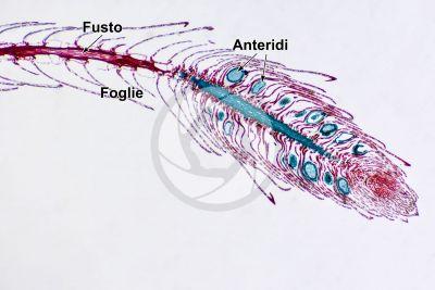 Sphagnum sp. Sfagno. Anteridio. Sezione longitudinale. 32X