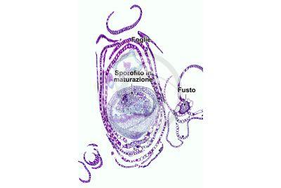 Sphagnum sp. Sfagno. Sporofito. Sezione longitudinale. 64X