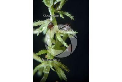 Sphagnum capillifolium. Red bogmoss. Capsule. 7X