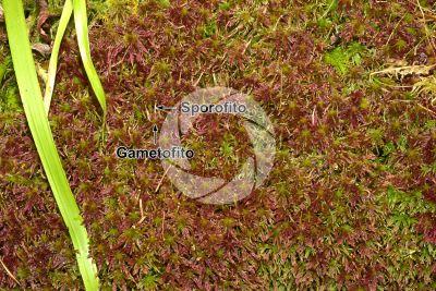 Sphagnum capillifolium