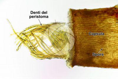 Tortula muralis. Capsula. 125X