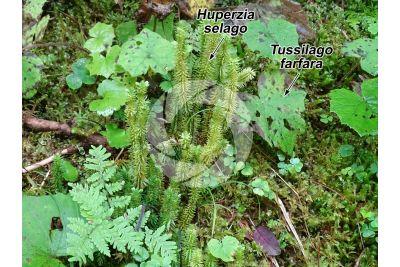 Huperzia selago. Northern firmoss