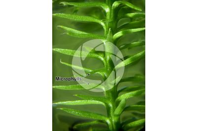 Lycopodium annotinum. Interrupted clubmoss. Trophophyll. 5X