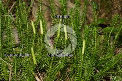 Lycopodium annotinum. Interrupted clubmoss