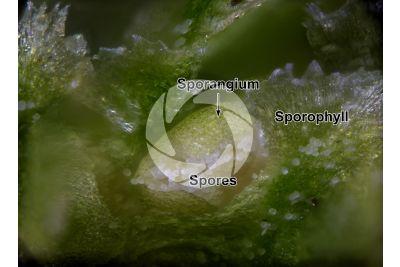 Lycopodium annotinum. Interrupted clubmoss. Strobilus. 50X