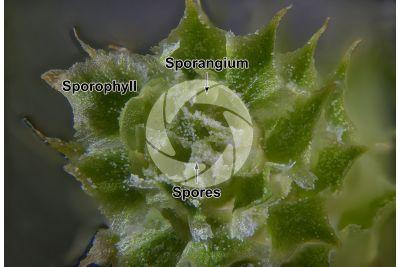 Lycopodium annotinum. Interrupted clubmoss. Strobilus. Transverse section. 15X