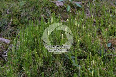 Lycopodium annotinum