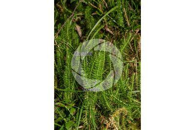 Lycopodium annotinum. Trofofillo