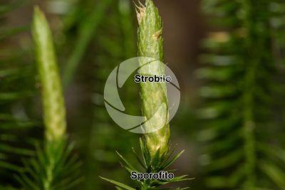 Lycopodium annotinum. Strobilo