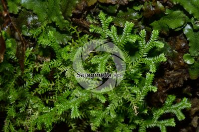 Selaginella sp. Spikemoss