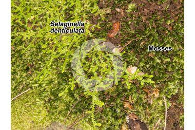 Selaginella denticulata. Mediterranean clubmoss